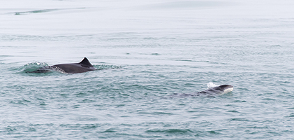 Harbour Porpoise crop
